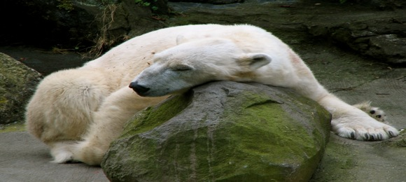 polar-bear-bronx-zoo.jpg