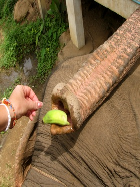 angela-dollar-feeding-elephants